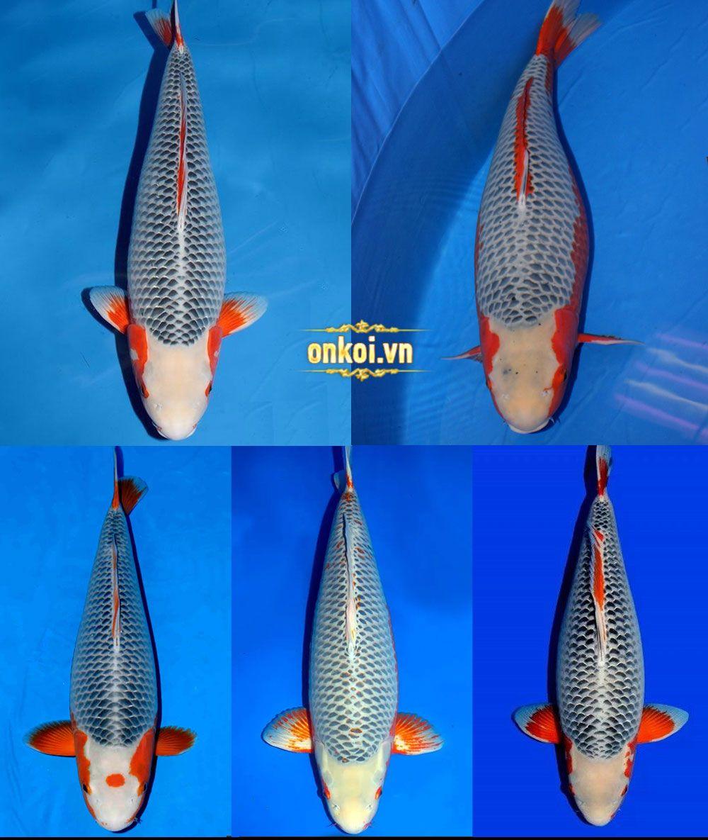 Cá koi nhật bản Onkoi Quang Minh