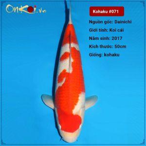 71 Ginrin Kohaku 50 cm 3 nam 1