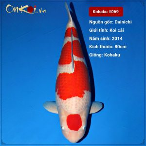 Onkoi Maruten Kohaku 7 năm 80 cm #069
