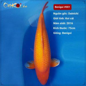 Koi Benigoi 90 cm 4 năm tuổi #001