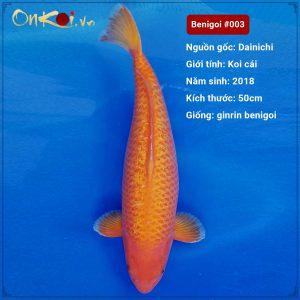 Koi Benigoi 61 cm 2 tuổi #003