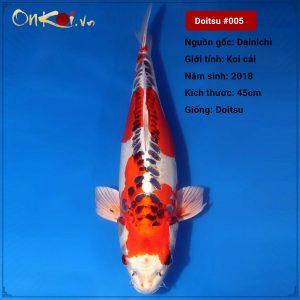 Koi Doitsu 65 cm 2 năm tuổi #005