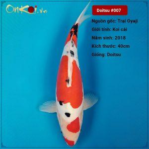 Koi Doitsu 67 cm 2 năm tuổi #007