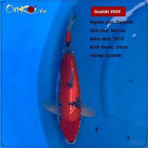 Koi Goshiki 52 cm 1 năm tuổi nữ #009