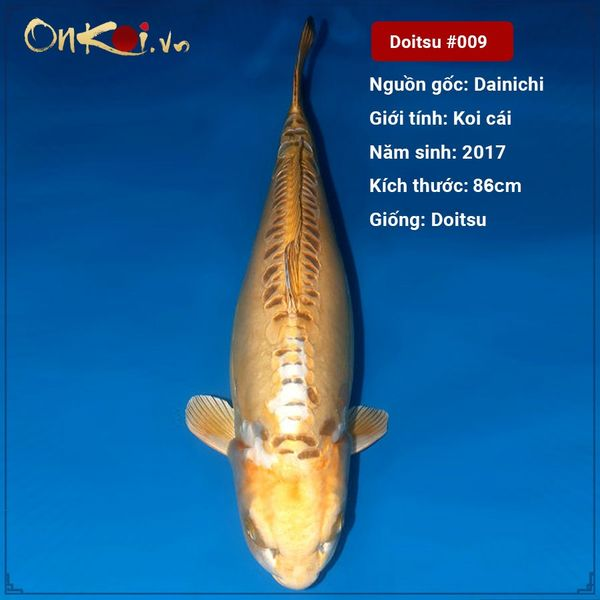 Koi Doitsu dài 86 cm 3 tuổi #009