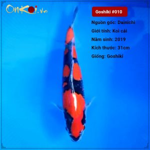 Koi Goshiki 50 cm 1 tuổi #010