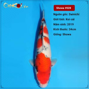 Koi Showa 34 cm 1 năm tuổi trại Dainichi