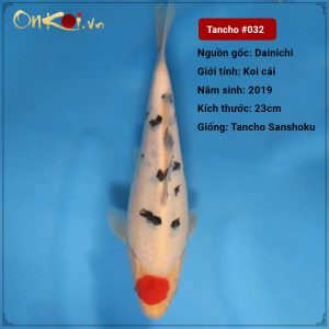 32 Tancho Sanshoku 23cm 1 nam trai dainichi