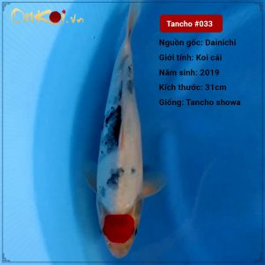 33 Tancho Showa 31cm 1 nam trai dainichi nu