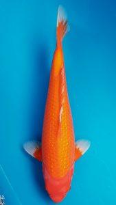 Koi Ginrin Benigoi 43 cm 2 năm tuổi #07