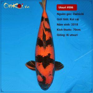 OnKoi Hi Utsuri 70cm 2 tuổi nữ #006