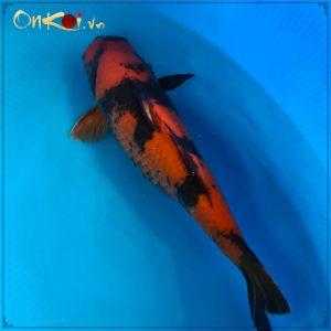 OnKoi Hi Utsuri 70cm 2 tuổi nữ #006 1