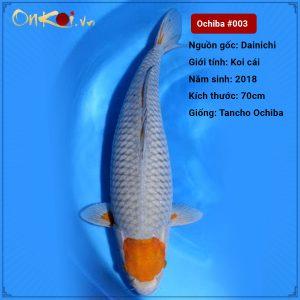Onkoi-Tancho Ochiba 70 cm 2 tuổi #003