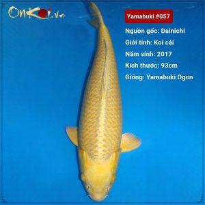 Koi Yamabuki Ogon 93 cm 3.5 tuổi Dainichi #057