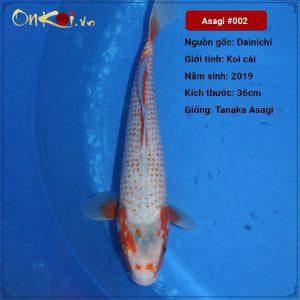 Koi Asagi 52 cm 1 tuổi #002