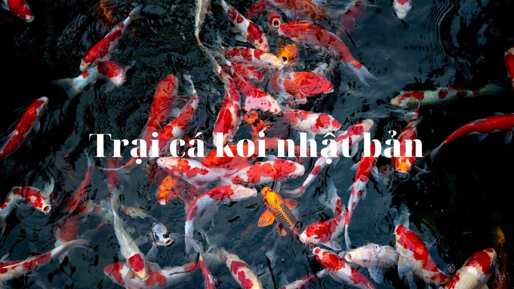 Các trại cá koi nhật bản(Koi Farm Japan)
