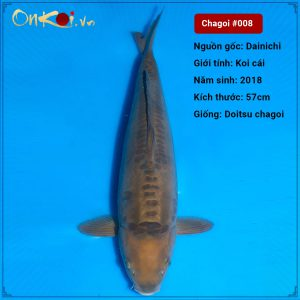 Koi Doitsu Chagoi 57 cm 2 năm tuổi #008