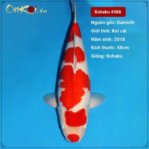 Kohaku 58 cm 3 tuổi #088