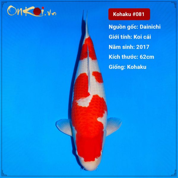 Koi Kohaku 62 cm 3 năm tuổi #081