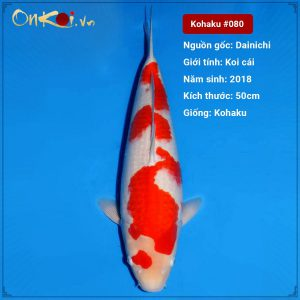 Koi Kohaku 50 cm 2 năm tuổi #080