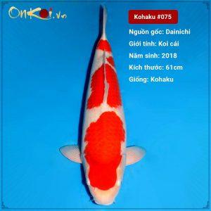 Kohaku 61 cm 2 năm tuổi Trại Maruyama #075