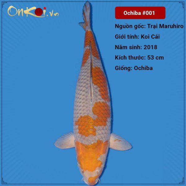 Koi Ochiba 53 cm 2 tuổi nữ #001