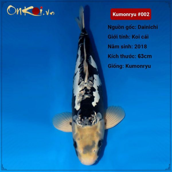 Koi Kumonryu 63 cm 2 năm tuổi #002
