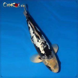 Koi Kumonryu 63 cm 2 năm tuổi #002 2