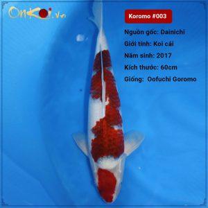 Koi Koromo 80 cm 3 năm #003