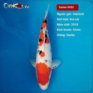 Koi Sanke 53 cm 2 tuổi nữ #003