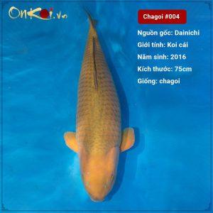 004 Chagoi 75 cm 4 tuoi nu
