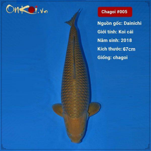 Koi Chagoi 2 năm tuổi 67 cm #005