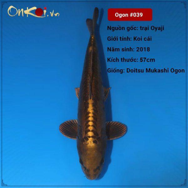 Doitsu Mukashi Ogon 57 cm 2 tuổi-nữ #039