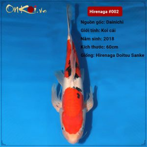 Koi Hirenaga Doitsu Sanke 60 cm 2 tuổi #002