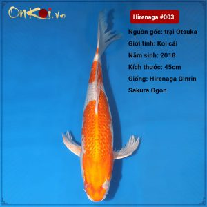 Hirenaga Ginrin Sakura Ogon 56 cm 2 năm tuổi #003