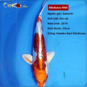 Kikokuryu 45 cm 1 tuổi #003