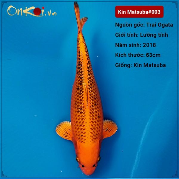 Koi Kin Matsuba 63 cm 2 năm