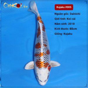 Koi Kujaku 65 cm 2 năm tuổi #005