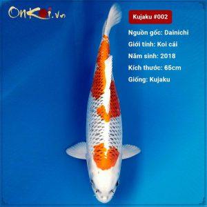 Koi Kujaku 65 cm 2 tuổi #002