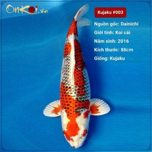 Koi Kujaku 88 cm 4 năm tuổi #003
