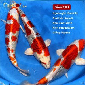 Lô Koi Kujaku 63 cm 2 tuổi #004