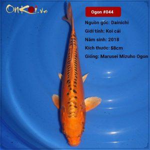 Koi Marusei Mizuho Ogon 58 cm 2 năm tuổi #044