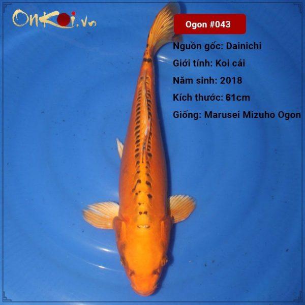 Koi Marusei Mizuho Ogon 61 cm 2 năm tuổi #043