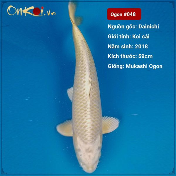 Koi Mukashi Ogon 59 cm 2 năm tuổi #048