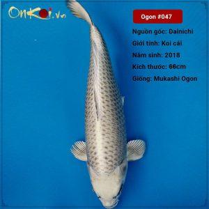 Koi Mukashi Ogon 66 cm 2 năm tuổi #047