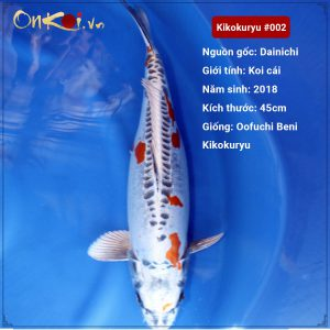 Koi Kikokuryu 61 cm 2 tuổi #002