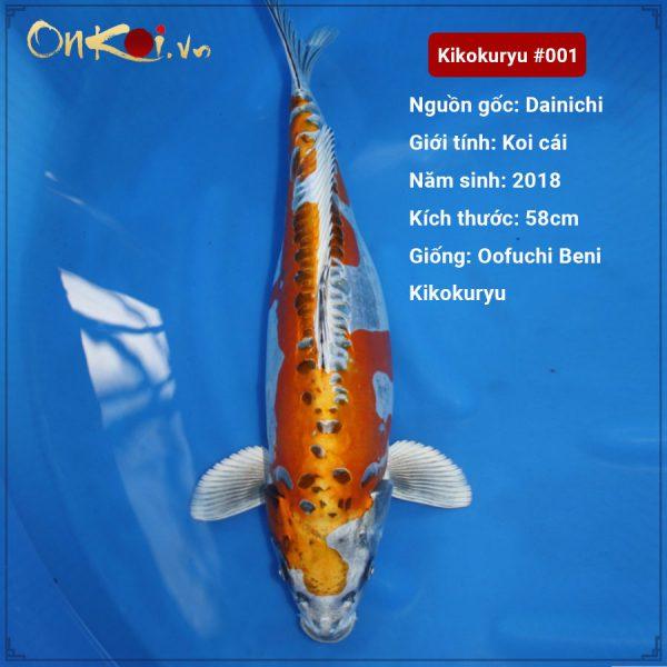 Kikokuryu 64 cm 2 tuổi #001