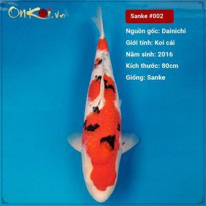 Koi Taisho Sanke 80 cm 3 tuổi nữ #002