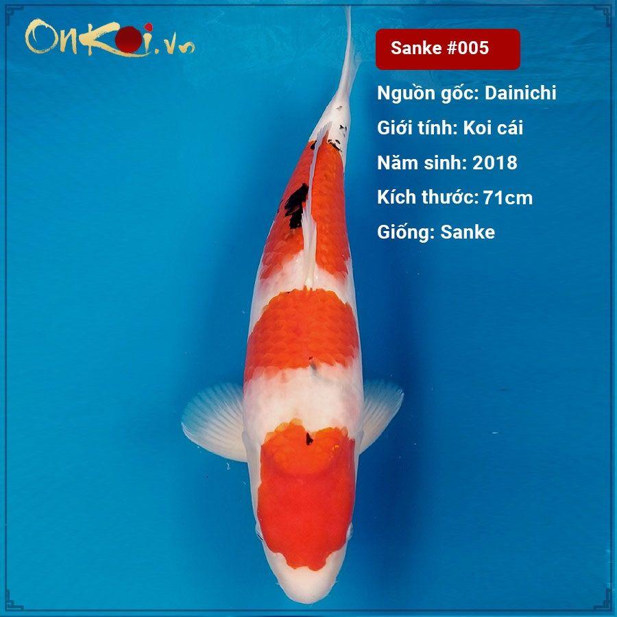 Taisho Sanke 71 cm 2 năm tuổi #005