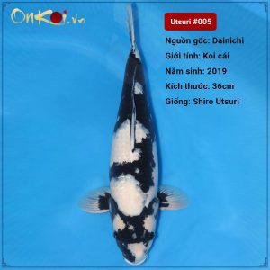 Shiro Utsuri Baby 36 cm 1 tuổi #005
